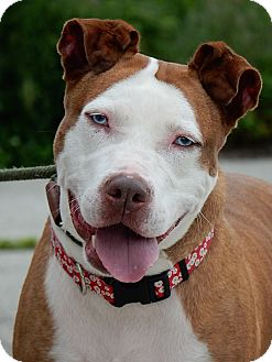 American Staffordshire Terrier Mix Dog for adoption in Long Beach, New York - Lady