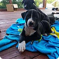 Adopt A Pet :: Valentino - Dallas, TX