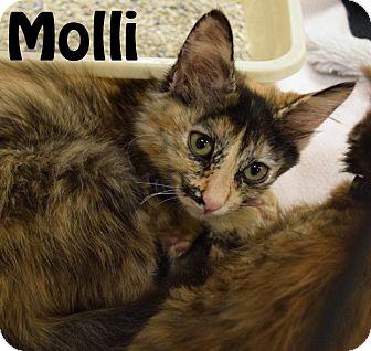 Domestic Mediumhair Kitten for adoption in Las Vegas, Nevada - Molli