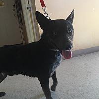 Adopt A Pet :: Sarge - Woodward, OK