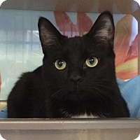 Domestic Shorthair Cat for adoption in New York, New York - Nicholas