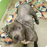 Shar Pei Mix Dog for adoption in New Orleans, Louisiana - Brody