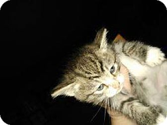 Domestic Shorthair Cat for adoption in Mission, Kansas - Poliwhirl