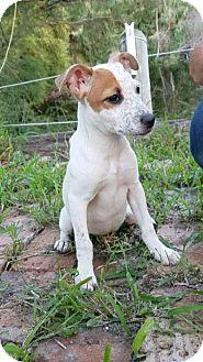 Australian Cattle Dog/Labrador Retriever Mix Puppy for adoption in San Jose, California - Emma