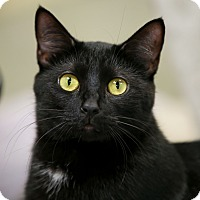Domestic Shorthair Cat for adoption in Kettering, Ohio - Linda Rondstat