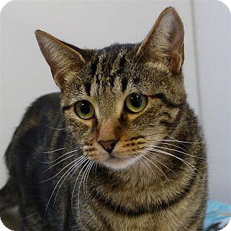 Domestic Shorthair Cat for adoption in Sedona, Arizona - Steve