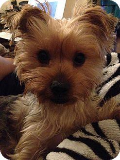 Yorkie, Yorkshire Terrier Dog for adoption in N. Babylon, New York - Belle