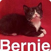 Adopt A Pet :: Bernie - Island Park, NY