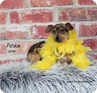 Dachshund Mix Dog for adoption in Conroe, Texas - CRICKET
