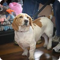 Adopt A Pet :: Frenchy Girl - Hanover, PA