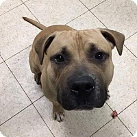 Terrier (Unknown Type, Medium)/American Pit Bull Terrier Mix Dog for adoption in Fulton, Missouri - Mason- Ohio