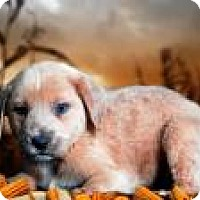 Cattle Dog/Labrador Retriever Mix Puppy for adoption in McKinney, Texas - Hansel
