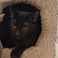 Domestic Shorthair Cat for adoption in Raleigh, North Carolina - Coffee