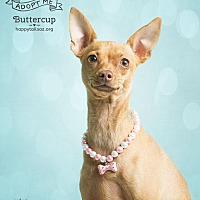 Chihuahua/Italian Greyhound Mix Dog for adoption in Chandler, Arizona - Buttercup