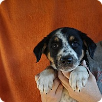 Adopt A Pet :: Stitch - Oviedo, FL