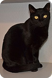 Domestic Shorthair Cat for adoption in Deerfield Beach, Florida - Sanibel