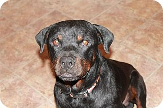 Rottweiler Dog for adoption in Gilbert, Arizona - Pistol