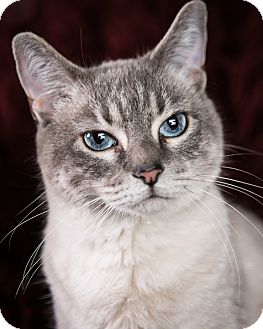 Domestic Shorthair Cat for adoption in Eagan, Minnesota - Sarabi