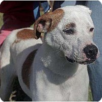 Hound (Unknown Type)/Terrier (Unknown Type, Medium) Mix Dog for adoption in Staley, North Carolina - Sammie