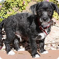 Adopt A Pet :: Peter - Gilbert, AZ
