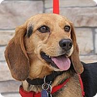 Adopt A Pet :: Prancer - Norman, OK