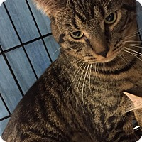 Adopt A Pet :: Chopin - Frederick, MD