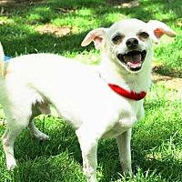 Chihuahua Mix Dog for adoption in Rancho Cucamonga, California - Bonzo