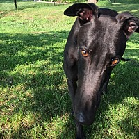 Greyhound Dog for adoption in Swanzey, New Hampshire - Tom