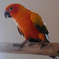 Conure for adoption in Frederick, Maryland - Sunny