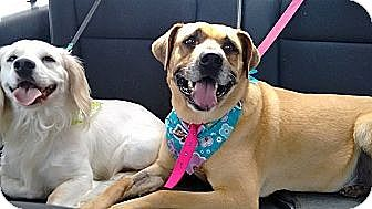 Labrador Retriever/Black Mouth Cur Mix Dog for adoption in San Diego, California - Chata