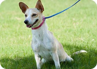 Rat Terrier Mix Dog for adoption in Laredo, Texas - Lizzy