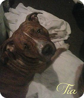 American Pit Bull Terrier Dog for adoption in Des Moines, Iowa - Tia