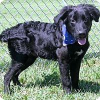 Adopt A Pet :: I'M ADOPTED Midnite Adams - Oswego, IL