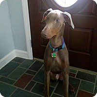 Doberman Pinscher Dog for adoption in Bath, Pennsylvania - Hercules