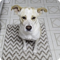 Australian Cattle Dog Mix Dog for adoption in Schertz, Texas - Rosie ES