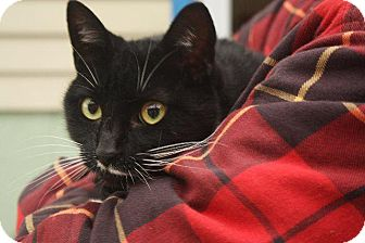 Domestic Shorthair Cat for adoption in Angola, Indiana - Bebe 2