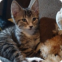 Domestic Mediumhair Kitten for adoption in Cedar Rapids, Iowa - Wagner