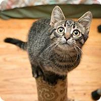 Adopt A Pet :: Lynx - Toronto, ON