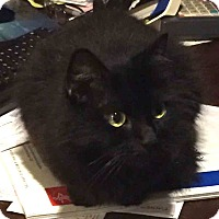 Domestic Shorthair Cat for adoption in Gaithersburg, Maryland - Lola