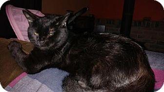 Domestic Shorthair Cat for adoption in E. Brookfield, Massachusetts - Igor