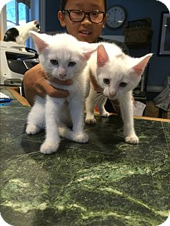 Domestic Shorthair Kitten for adoption in Bedford Hills, New York - Frosty and Icy