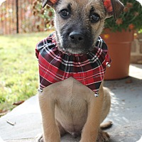 Schnauzer (Miniature)/Terrier (Unknown Type, Small) Mix Puppy for adoption in East Dover, Vermont - Gianni - PENDING