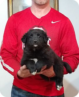 Border Collie/Labrador Retriever Mix Puppy for adoption in Gahanna, Ohio - Maizie