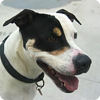 Adopt A Pet :: Barron von Willie - Potsdam, NY