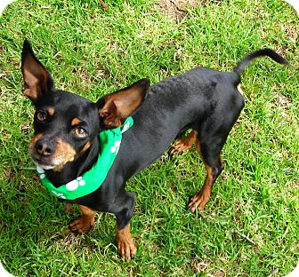Chihuahua/Dachshund Mix Dog for adoption in El Cajon, California - Clyde