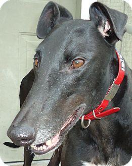 Greyhound Mix Dog for adoption in Longwood, Florida - Dobby