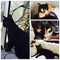 Adopt A Pet :: Panther *COURTESY POST* - Oviedo, FL
