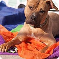 Adopt A Pet :: Little Petey - Long Beach, NY