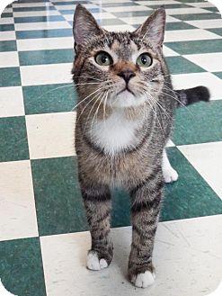 Domestic Shorthair Cat for adoption in Toledo, Ohio - BINX