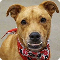 Cattle Dog/Labrador Retriever Mix Dog for adoption in Gilbert, Arizona - PHIN